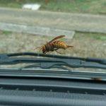 オオスズメバチの巣が敷地内に!どうやって対処するか。