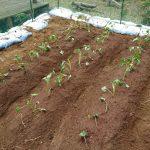 サツマイモの栽培は初心者向け?山林で自家栽培を目指す。