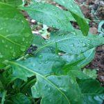 【トウガラシ】ホオズキカメムシが襲来。駆除方法と調理の仕方