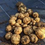 自家栽培のジャガイモ収穫。そして調理。