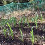 【山林開拓】作物の手入れ、雑草の除去