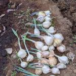 【ニンニクマシマシで】自家栽培のニンニクが総数80株に【大量生産】