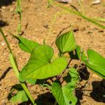 【自家栽培経過報告】紫蘇、生姜は全滅。大根も死亡。